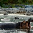 Yawning hippopotamus. — Stock Photo