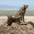 Two cheetahs. - Stock Photo
