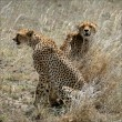 Two cheetahs in a grass. - Stock Photo