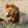 Supper of a lion. 2 — Stock Photo