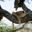 Stock Photo: Young lion on a tree. 2