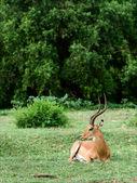 The impala has a rest. — Stock Photo