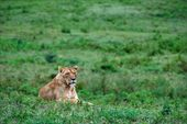 Lionne sur herbe. — Photo