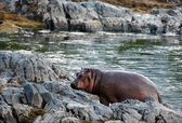 Hippopotamus on stony coast. — Stock Photo