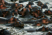 The herd of hippopotamuses bathes. — Stock Photo