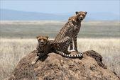 Two cheetahs. — Stock Photo