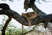 Young lion on a tree. 2 — Stock Photo