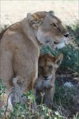 Lioness and young lion. — Stock Photo