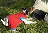 Dog fox terrier — Stock Photo