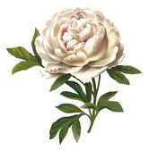 Peony flower illustration — Stock Photo
