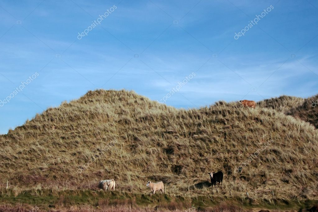 Some cows on the top of some dunes in kerry ireland grazing in green pastures — Stock Photo #3719064