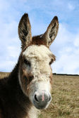 Head donkey — Stock Photo