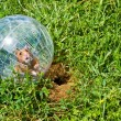 Stock Photo: Hamster ball
