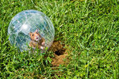Hamster ball — Stock Photo