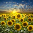 Field of flowerings sunflowers on a beautiful sunset  background - Stock Photo