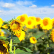 Sunflowers meadow. Blue clear sky. Summer landscape - Stock Photo