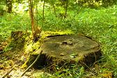 Old tree stub — Stock Photo
