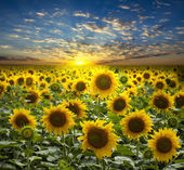 Field of flowerings sunflowers on a beautiful sunset background — Stok fotoğraf