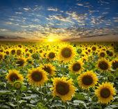 Pole słoneczników flowerings na tle piękny zachód słońca — Zdjęcie stockowe