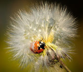 Little ladybird climb on downy dandelion. Close-up scene. — Stock Photo