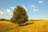 Summer scene: alone green tree in field on blue sky background — Stock Photo