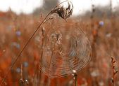 Cobweb on autumn field ear — Stock Photo