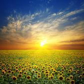 Paisaje de verano: la belleza puesta de sol sobre campo de girasoles — Foto de Stock