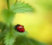 Little ladybird on green leaf. Close-up scene. — Stock Photo