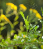 Spider on web. Summer morning wildlife scene. Over green blured — Stock Photo