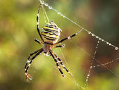 Striped spider on web. Summer morning wildlife scene. Close-up — Stock Photo