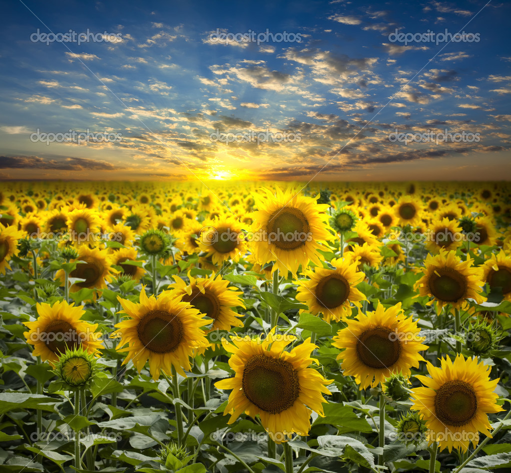 Фотообои Field of flowerings sunflowers on a beautiful sunset background