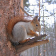 Foto de Stock  : Squirrel at the tree