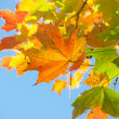 Autumn leaves , very shallow focus. — Stock Photo #3897674