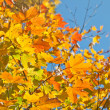 Autumn leaves , very shallow focus. — Stock Photo #3903608