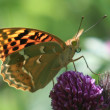 Stock Photo: Argynnis pandora