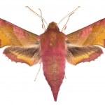 Deilephila porcellus — Stock Photo