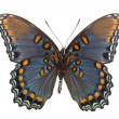 Stock Photo: Limenitis arthemis astyanax