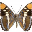 Stock Photo: Limenitis bredowii