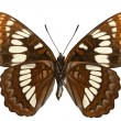 Stock Photo: Limenitis lorquini