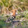 Hoopoe - Stock Photo