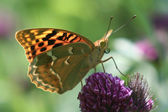 Argynnis pandora — Stock Photo