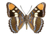 Limenitis bredowii — Stock Photo
