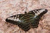 Parthenos sylvia — Foto Stock