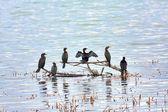 Pygmy Cormorant (Phalacrocorax pygmaeus) — Zdjęcie stockowe