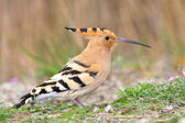 Hoopoe — Stock Photo