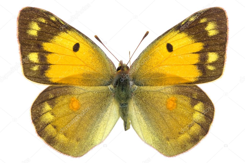 Female of Dark Clouded Yellow (Colias croceus) isolated on white — Stock Photo #3734368