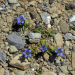 Gentian — Stock Photo