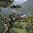 Withered pine tree on mountain side - Stock Photo