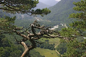 Withered pine tree on mountain side — Stock Photo