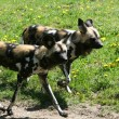 African Dogs — Stock Photo